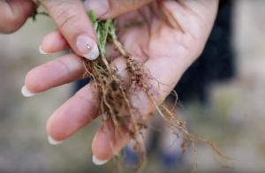 legume root